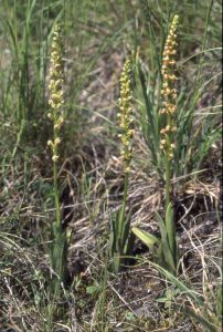 Orchis anthropophora Habitus2