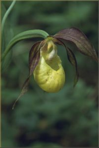 Cypripedium calceolus Blüte 1