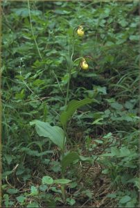 Cypripedium calceolus Habitus 1