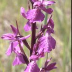 Orchis palustris 77