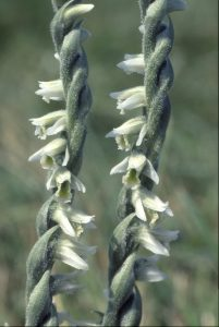 Spiranthes spiralis 96