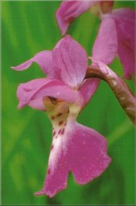 Orchis mascula b
