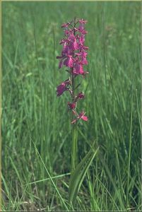 Orchis palustris a